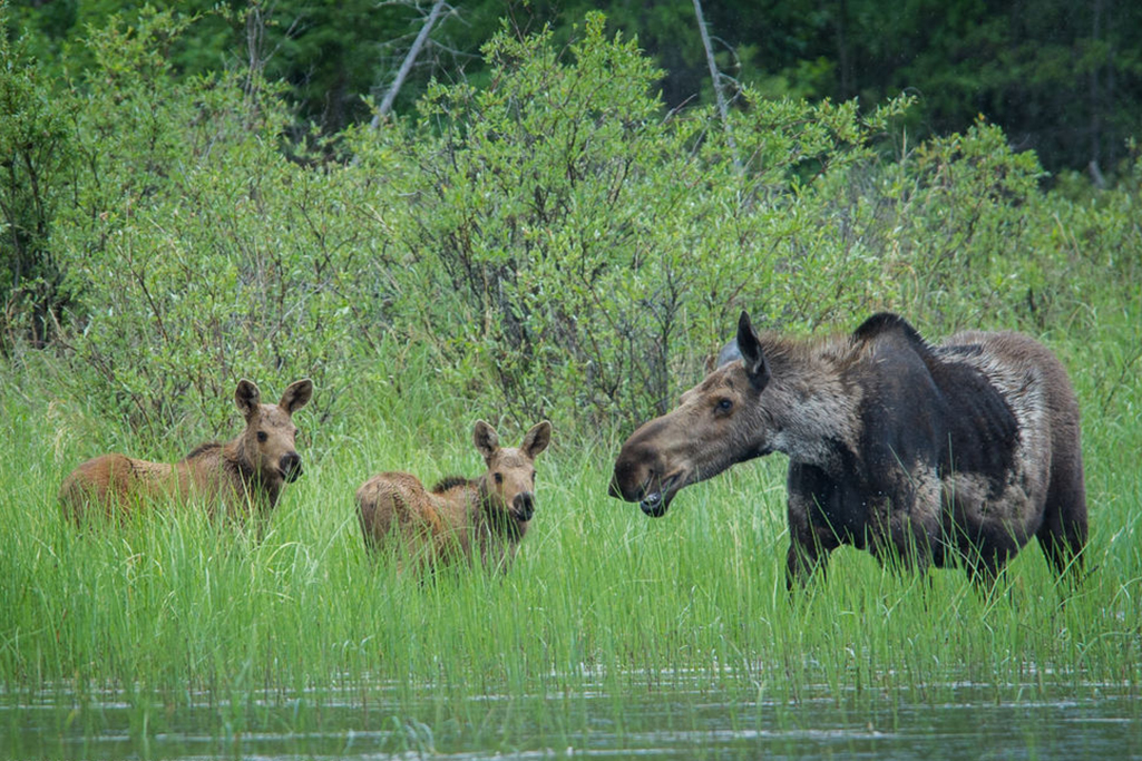 A moose with her two calves in the reeds of Tazin Lake located in Northern Saskatchewan