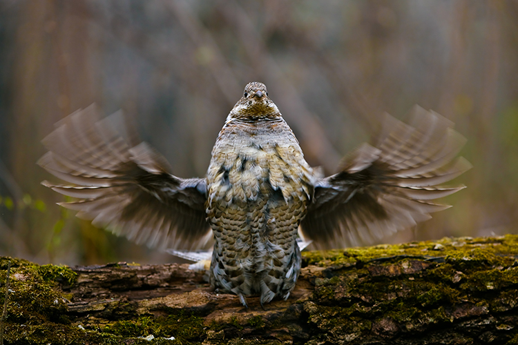 Bird Hunting Ruffled Grouse Saskatchewan Canada